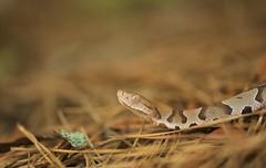 Agkistrodon contortrix - Copperhead (jdubphotos) Tags: copperhead snake herp herping venomous serpent viper wildlife reptile