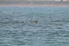 IMG_5803 (monika.carrie) Tags: monikacarrie wildlife scotland aberdeen dolphins dolphin cetacean mammal