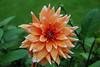 Dahlia (Errols Cuz) Tags: flowers dahlia teresaflynn nature