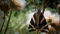 Csíkos medvelepke (Euplagia quadripunctaria) (jetiahegyen) Tags: lepke rovar börzsöny outdoor butterfly insect túra túrázás kirándulás tour hiking