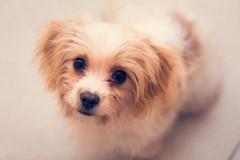 Buffy (Pat Kelleher) Tags: cavachon buffy buffythecavachon canon portrait dogportrait dog pet mansbestfriend animal