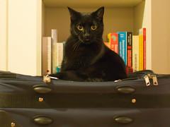 IMG_7623 (BalthasarLeopold) Tags: animal animals blackcat blackcats cat cateyes cats closeup dephtoffield dof feline felines indoorcat kitten kittens leopold mammal pet pets