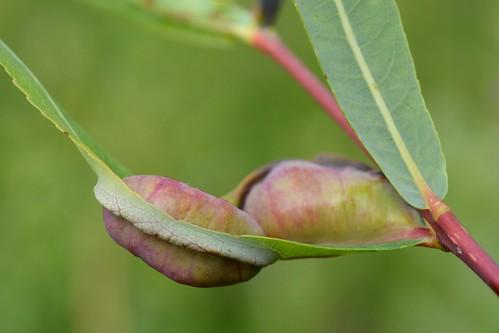 Pontania vesicator on Salix purpurea