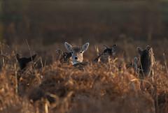 Fallow-Deer-2312 (Kulama) Tags: fallowdeer deer nature wildlife woods bracken fern autumn animals sunrise canon7d canon400mm56