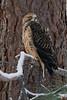 Swainson's Hawk (Jon David Nelson) Tags: swainsonshawk swainsons buteoswainsoni hawks buteo raptors birdsofprey centraloregon wildlife conservation education highdesert