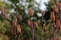 aliens in the garden - 2 - (Snorkle-suz) Tags: seedpods brown purple flora plants bokeh dof depthoffield nz newzealand aotearoa garden nature canoneos600d canoneosrebelt3i canoneoskissx5 1855mm