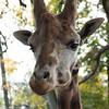 Pairi Daizia Belgique-3542 (SylBon) Tags: girafe pairidaizia