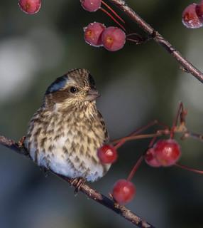 Roselin Pourpré femelle -  Purple Finch  Explore