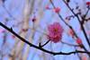 Ume flowe 2017, 小石川後楽園 (Yasuz) Tags: ume flower flowers tree winter 2017 sky pink 小石川後楽園 梅 tokyo japan nikon nikondf 85mm planart1485 zeiss carlzeiss nature outdoor zf2