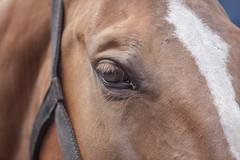 Wemmel : Jaarmarkt, championship for horses #10 (foto_morgana) Tags: animals belgie belgique belgium belgië cheval closeup eye horse jaarmarkt2016 mammalia mammals mammifères outdoor paard säugetiere wemmel zoogdieren