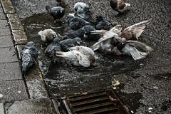 Washing in a puddle (PChamaeleoMH) Tags: birds columbidae cornmarket fauna pigeons puddle shipstreet washing