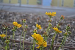 Fledgling Plants, the Common Everlasting Daisy (davidbailey12) Tags: plants yellow garden barren bed ground soil water australia flower common everlasting daisy