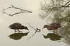 Canes sur la glace (Raymonde Contensous) Tags: canes colverts canards paris lacdaumesnil boisdevincennes oiseaux oiseauxdeau animaux glace gel eau reflets graphisme nature