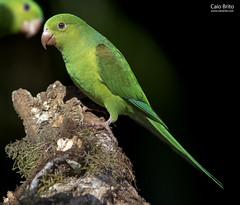 Plain Parakeet (Brotogeris tirica) - Tapiraí-SP