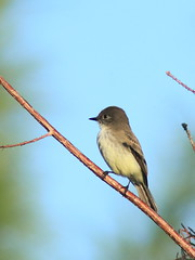 Eastern Phoebe 02-20170121 (Kenneth Cole Schneider) Tags: lorida miramar westbrowardwca