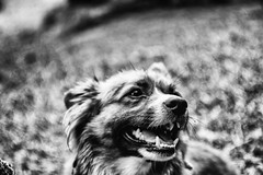 An Azorean buddy (Sébastien Turpin Photography) Tags: dog doggy hund chien pero perocito machoire jaws teeth azorean buddy furnas park portugal portugese sao miguel