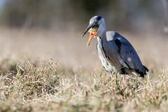 Héron cendré (sfrancois73) Tags: oiseau faune héroncendré