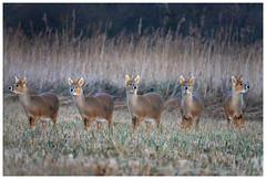 Five Faces Of A Water Deer. (vegetus aer) Tags: woodwaltonfen greatfen greatfenproject wildlifetrust bcnwildlifetrust nnr cambridgeshire wildlife rx10m3 chinesewaterdeer