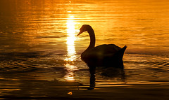 Sunset Swan (Andy.Gocher) Tags: anawesomeshot andygocher canon100d sigma18250 europe france marseille marignane provence sunset sun swan bird reflection silhouette ngc