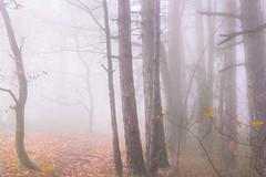 Fantasy apart (Missy Karine) Tags: brumepaysage ngc mist nature brume forêt arbres trees wood
