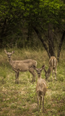 daily visitors (pumped2run) Tags: white field three tail doe deer alert whitetail