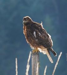 Rhiannon Blanchard Hunting hawk