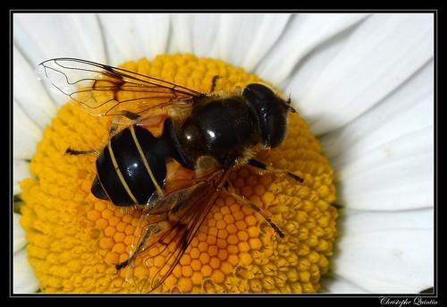 Eristalis horticola femelle