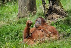 20150711_55 - Philosoph (grasso.gino) Tags: nature animals zoo monkey tiere nikon natur orangutan ape dortmund affe d3000