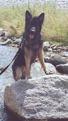Hilton (blue.lacy) Tags: dog pet pets dogs animal animals shepherd german blackandbrown