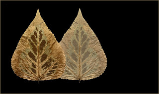 Poplar Leaf: Frontside, Backside