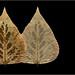 Poplar Leaf: Frontside, Backside