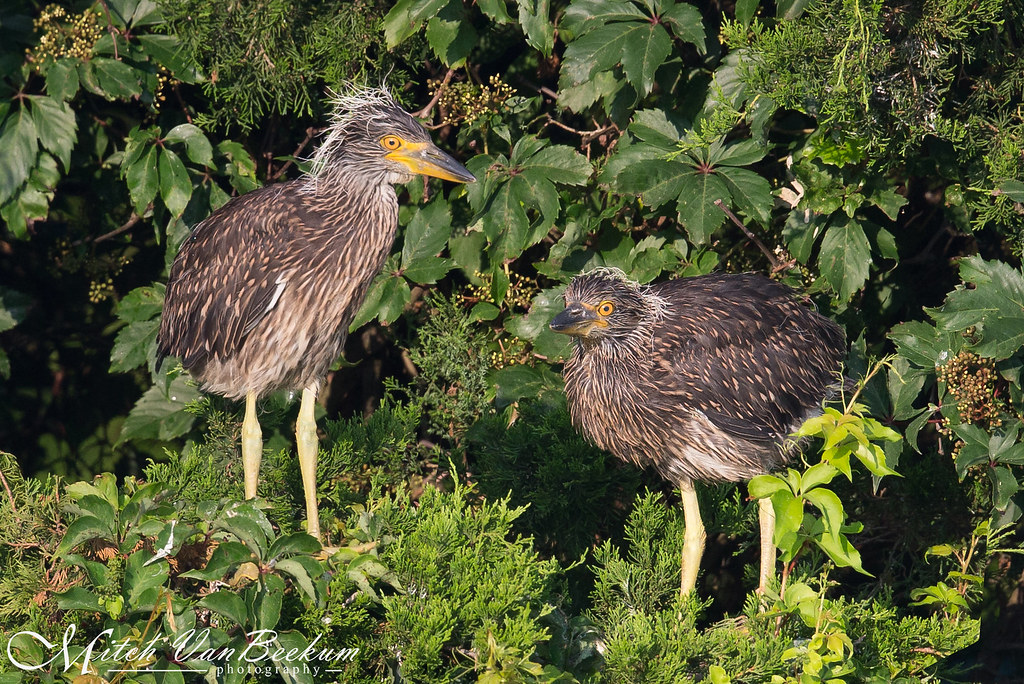 Juvenile Yellow Crowned Night Herons