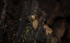 Opisthoncus sp. (dustaway) Tags: arachnida araneomorphae araneae salticidae jumpingspider australianspiders tamborinemountain bark sequeensland queensland nature australia opisthoncus mounttamborine spinne