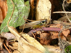 Roesel's Bush-cricket - Metrioptera roeselii (David in Chippenham) Tags: uk england insects august wiltshire katydid orthoptera grasshoppers chippenham dld 2015 metriopteraroeselii roeselsbushcricket