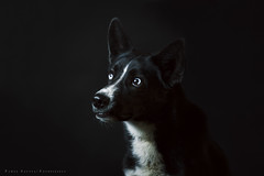 Sky portrait (Pawel-Szutta.jpg) Tags: light portrait dog black cute animal canon studio fun eyes husky background 85mm 7d pies 18 backgroud fotopiesey fotopiesely szutta