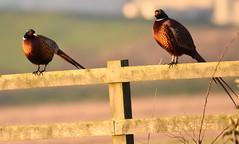 Pleasant Pheasants. (pstone646) Tags: pheasants birds fence nature animals wildlife fauna elmley kent sunshine