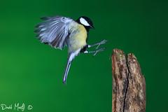 carbonero común (parus major) (david marfil) Tags: parusmajor carbonerocomún mallerengacarbonera highspeed altavelocidad nature birds