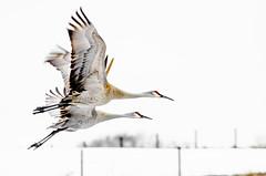 cranes (lynnekasey) Tags: nature birds sandhillcranes winter flight canon