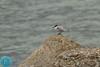 Arctic Tern (Sterna paradisaea) Poliarinė žuvėdra