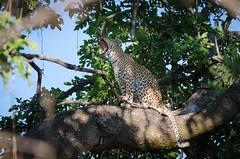 Leopard (brainstorm1984) Tags: pantherapardus moremiwildreservat safari moremigamereserve desertdeltasafaris botswana wildlife pantheraparduspardus wildfelinephotography cub campmoremi okavangodelta jungtier leopard big5 bigfive xakanaxa northwestdistrict botsuana bw