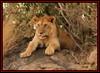 YOUNG SUB-ADULT MALE CUB (Panthera leo)  ......MASAI MARA......SEPT 2016 (M Z Malik) Tags: nikon d3x 200400mm14afs kenya africa safari wildlife masaimara keekoroklodge exoticafricanwildlife exoticafricancats flickrbigcats lions leo ngc npc