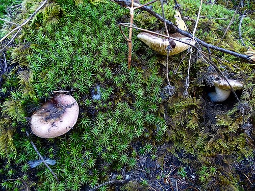 Russula romellii - Weißstieliger Ledertäubling , NGID21672135