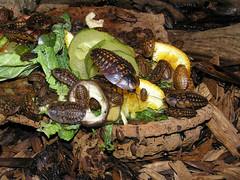 Blaberus fusca (Dwarf Cave Roach) - West Midlands Safari Park (Steven Falk) Tags: blaberus fusca dwarf cave roach