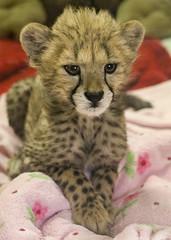 I've Been Practicing this Adorable Pose (Penny Hyde) Tags: babyanimal bigcat cheetah cub safaripark