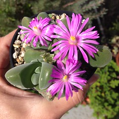 Gibbaeum from seed