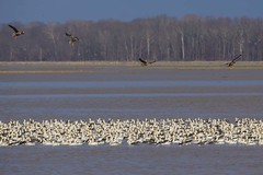 SNOW GEESE & GREATER WHITE-FRONTED GEESE (nsxbirder) Tags: snowgoose chencaerulescens greaterwhitefrontedgoose anseralbifrons ewing indiana