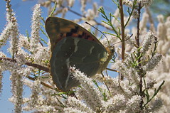 "Argynnis pandora 1 • <a style=""font-size:0.8em;"" href=""http://www.flickr.com/photos/15452905@N02/31712415971/"" target=""_blank"">View on Flickr</a>"