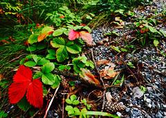 image (strutt_anneli) Tags: finland suomi tampere forest pyynikki autumn syksy metsa leaf plant lehti red green punainen vihrea