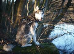 Take a look! (FlexFrequency) Tags: sonya6000 akimo minoltamdrokkor50mm117 see siberian husky 2016 heitkampsee hund