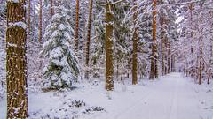 Winterspaziergang - winterly walk (ralfkai41) Tags: hdr landscape landschaft landschaftsaufnahme bäume inreihe woods fusweg winter wald nature schnee trail forest outdoor trees footpath natur snow
